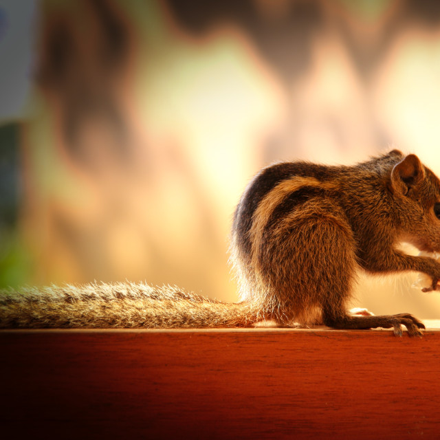 """""""Indian Palm Squirrel"""" stock image"""