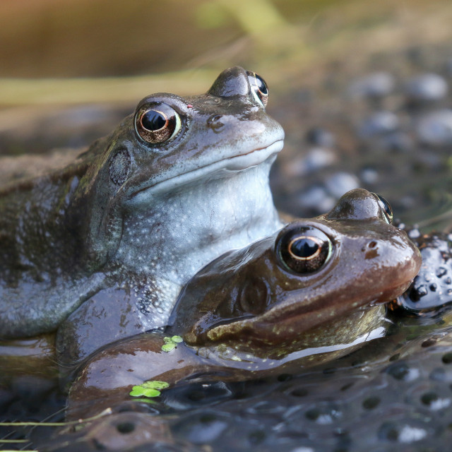 """""""Mating Frogs"""" stock image"""