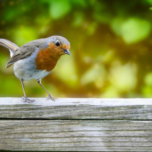 """Garden Robin"" stock image"