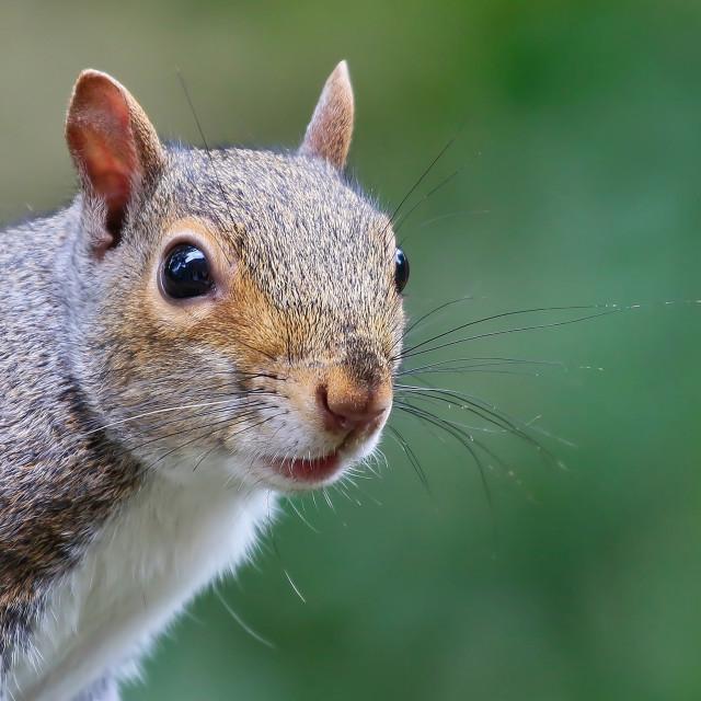 """""""Grey Squirrel"""" stock image"""