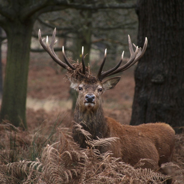 """""""Stag in Richmond Park"""" stock image"""