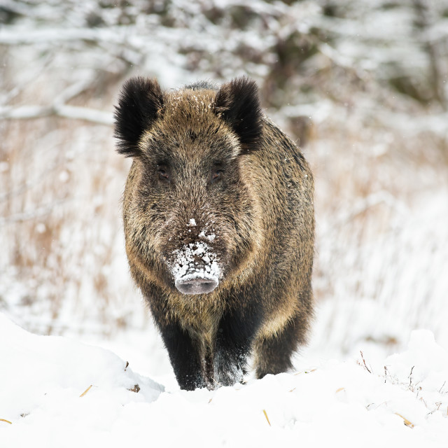 """Powerful wild boar standing in snow facing camera and watching in winter."" stock image"