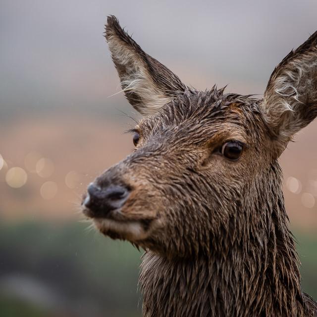"""""""Reindeer"""" stock image"""