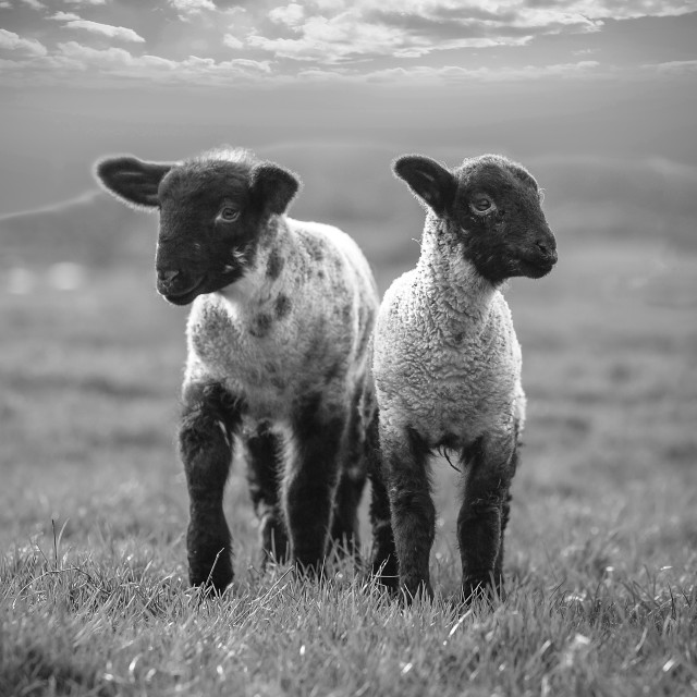 """Spring Lambs"" stock image"