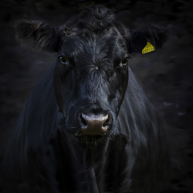 """Aberdeen Angus"" stock image"