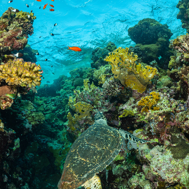 """""""green turtle feeding on a reef in the Red Sea"""" stock image"""