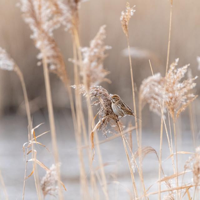 """Reed Bunting (Emberiza schoeniclus) taken in the UK"" stock image"