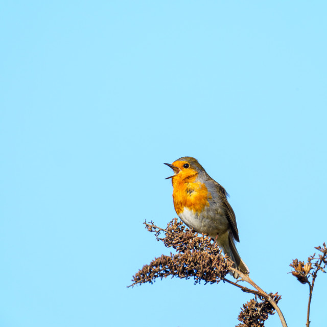 """""""European Robin (Erithacus rubecula) perched on a bush, singing, taken in the UK"""" stock image"""