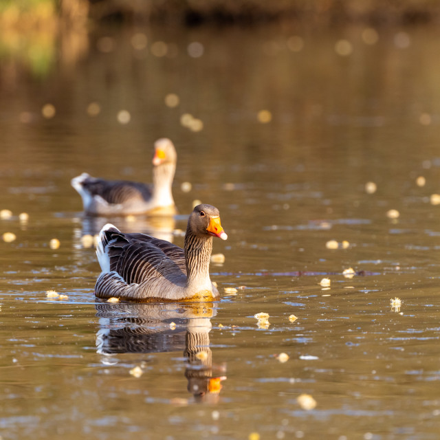 """Greylag Goose (Anser anser), taken in the UK"" stock image"