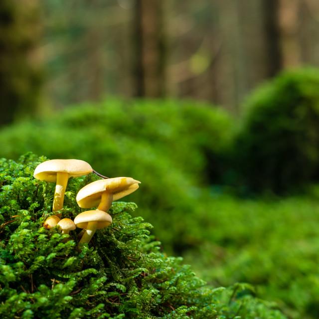"""""""Wild Sulfur tuft mushroom UK"""" stock image"""