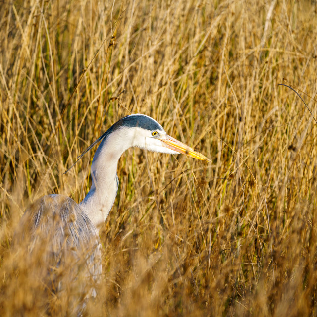 """Grey Heron (Ardea cinerea) landing"" stock image"
