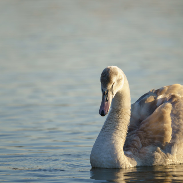 """Mute swan (Cygnus olor) cygnet, taken in the UK"" stock image"