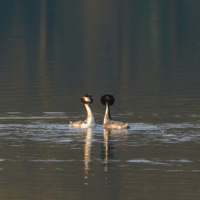 """Great Crested Grebe (Podiceps cristatus) courting, taken in the UK"" stock image"