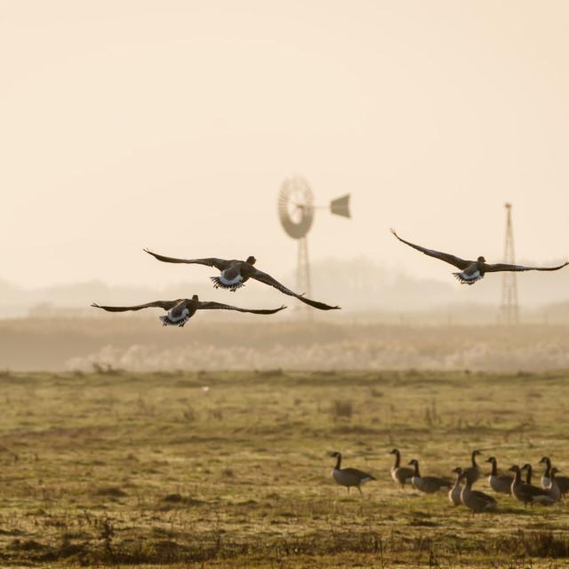 """""""Greylag Goose (Anser anser) landing"""" stock image"""