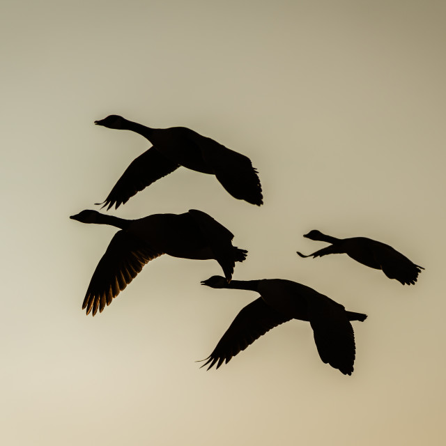 """Silhouette of a small flock of Canada Goose (Branta canadensis) in flight,..."" stock image"