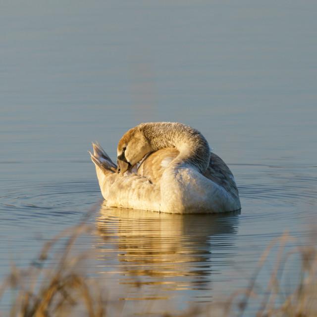 """""""Mute swan (Cygnus olor) cygnet, taken in the UK"""" stock image"""