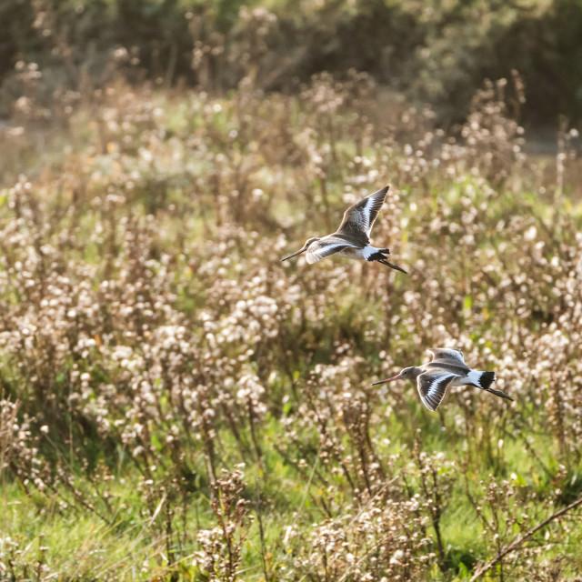"""""""Black-tailed Godwit (Limosa limosa)"""" stock image"""
