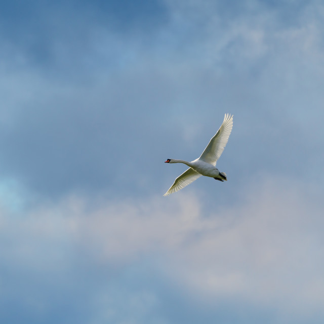 """Mute swan (Cygnus olor) in flight, taken in the UK"" stock image"