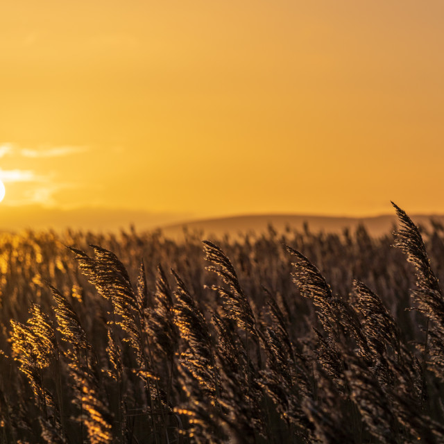 """""""Sunrise over reedbeds looking towards Poole Harbour from Swineham Point near..."""" stock image"""