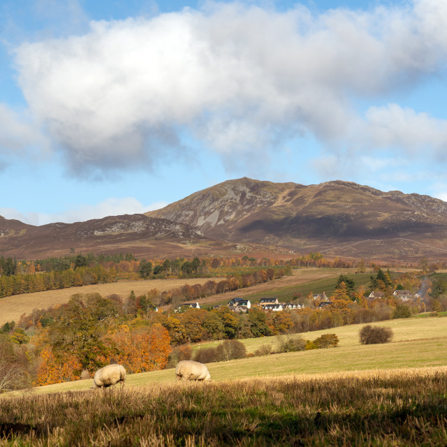 """""""Sheep grazing in the fields with Ben Vrackie in the background, Perthshire,..."""" stock image"""
