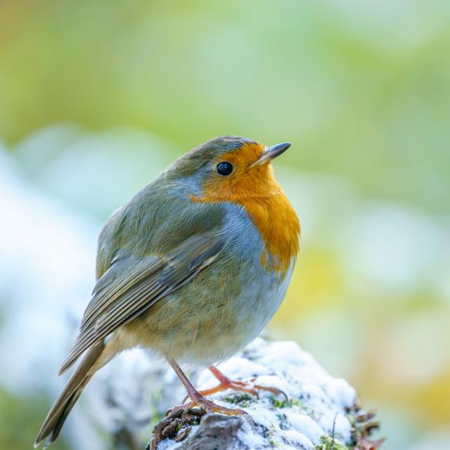 """European Robin (Erithacus rubecula) in light snow, taken in the UK"" stock image"