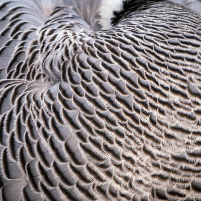 """Emperor Goose (Anser canagica)"" stock image"