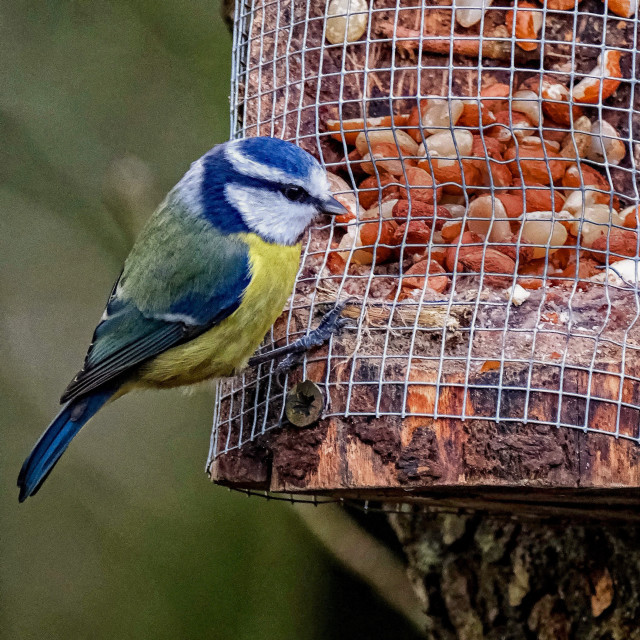 """""""Blue Tit on the feeder"""" stock image"""