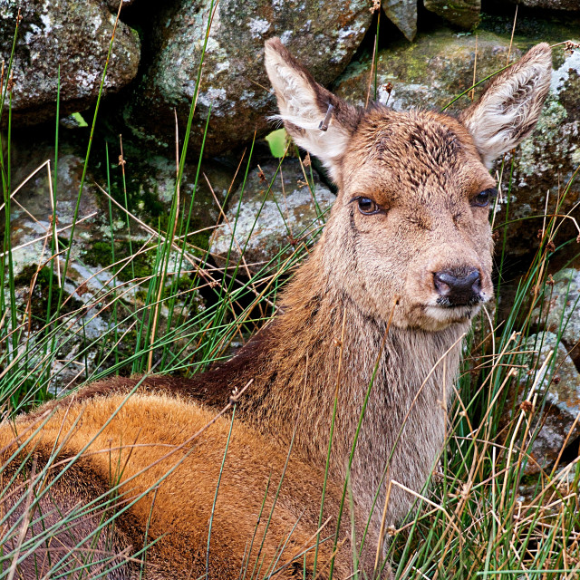 """""""Red Deer laying down"""" stock image"""