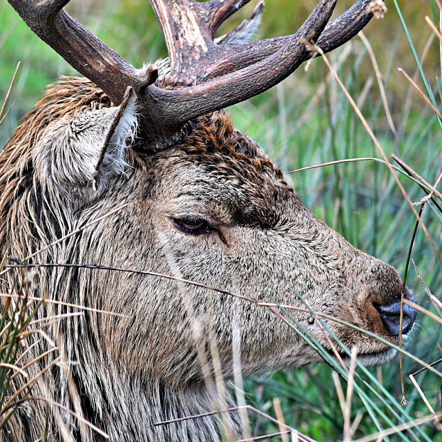 """""""Red Stag close up"""" stock image"""