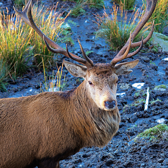 """""""Red Stag"""" stock image"""