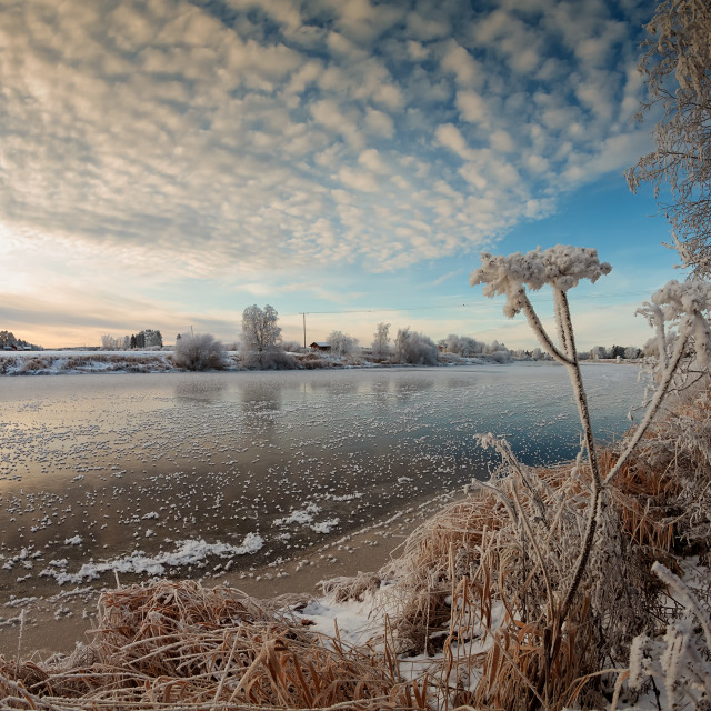 """""""Frosty Cow Parsley By The River"""" stock image"""