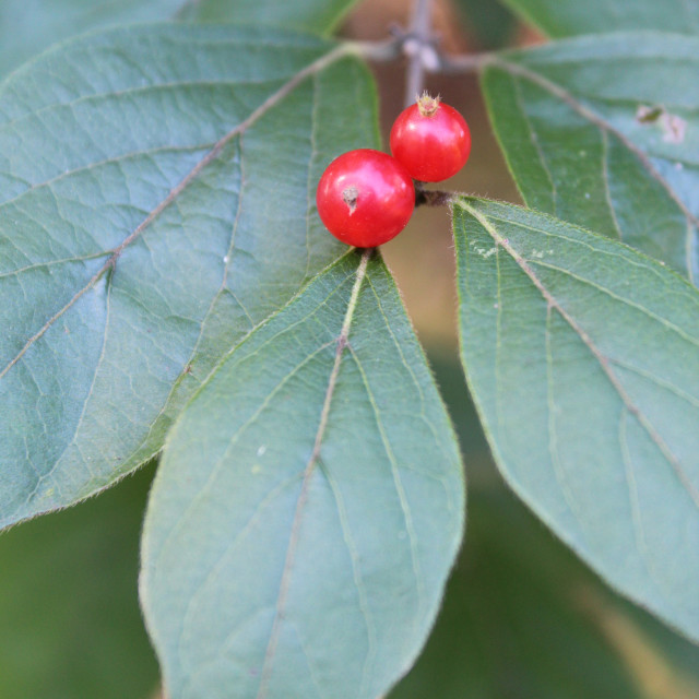 """""""red berries, green leaves"""" stock image"""