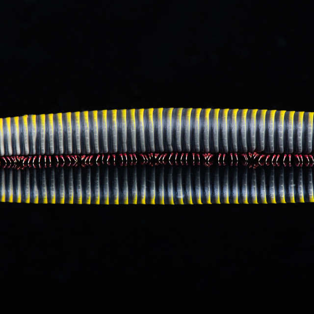 """Millipede"" stock image"
