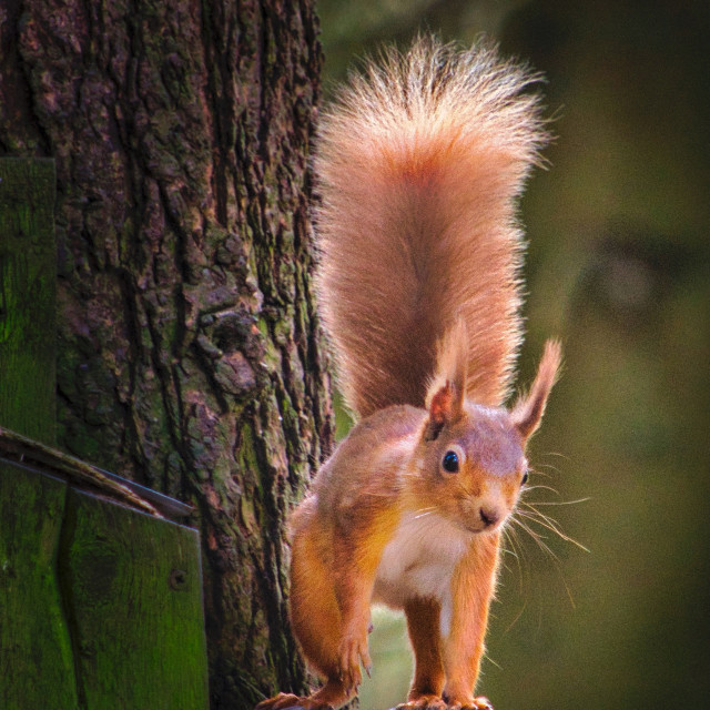 """""""Red Squirrel on the hunt for food"""" stock image"""