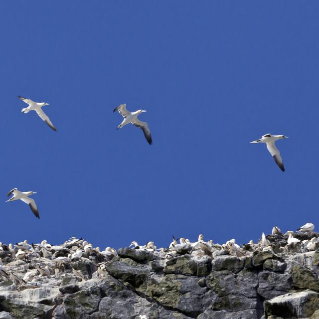"""Gannets in flight over St Kilda"" stock image"
