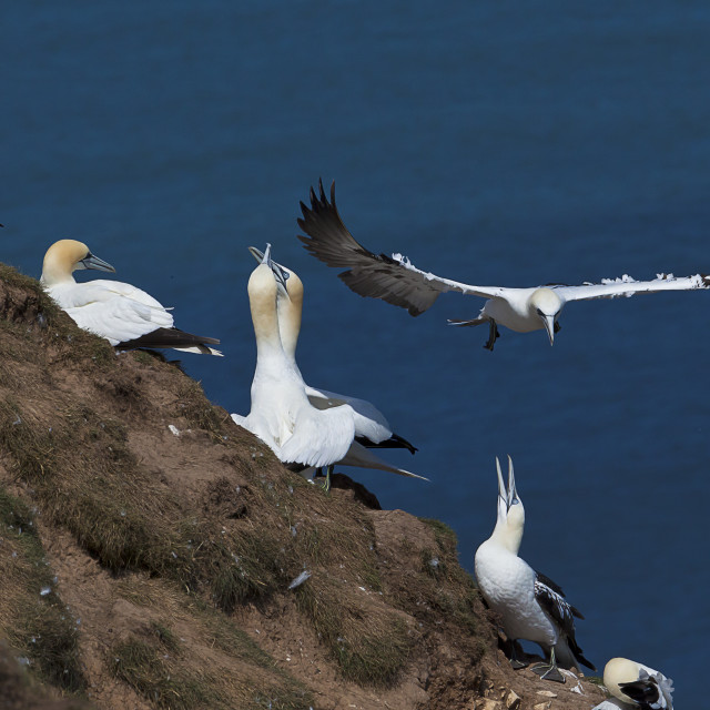 """""""Gannets on the cliff at RSPB Bempton"""" stock image"""