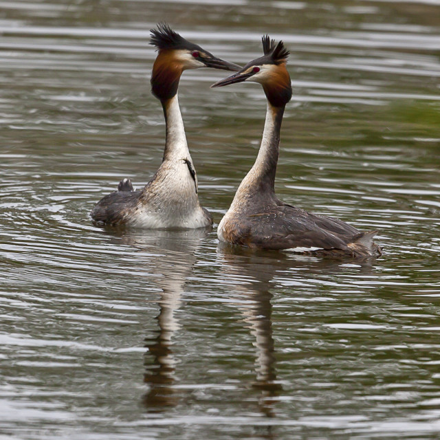 """""""Two Great crested Grebe display"""" stock image"""