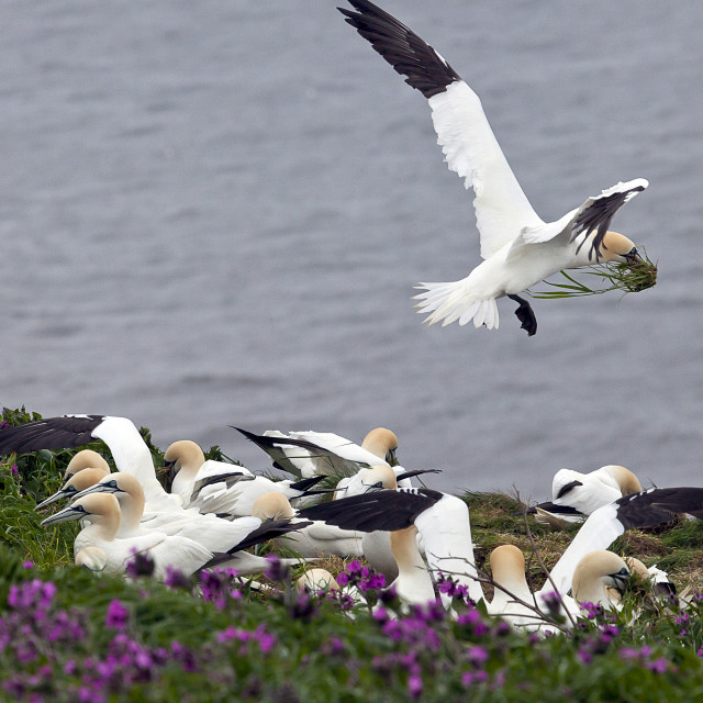 """""""Gannets collecting nesting material on Bempton Cliffs"""" stock image"""