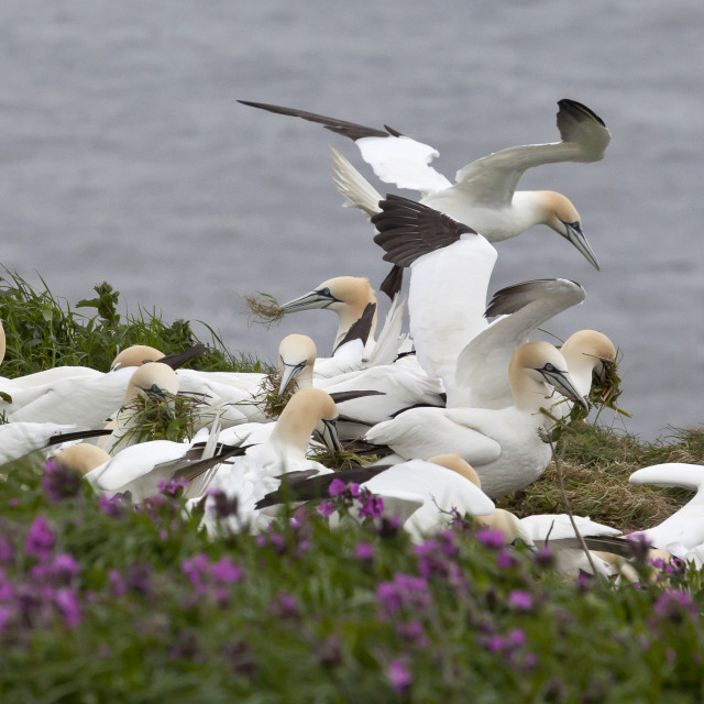 """""""A group of gannets at Bempton Cliffs"""" stock image"""