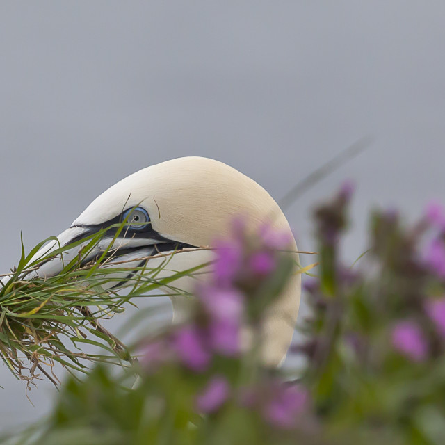 """""""A gannet collecting nesting material on Bempton Cliff"""" stock image"""