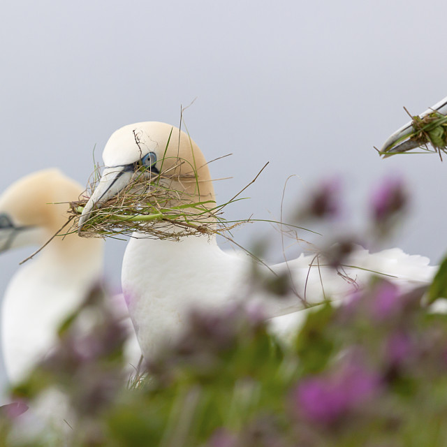 """""""3 gannets in a row"""" stock image"""