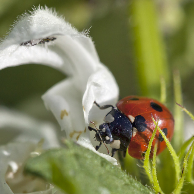 """""""A seven spotted ladybird making it way along the leaf"""" stock image"""