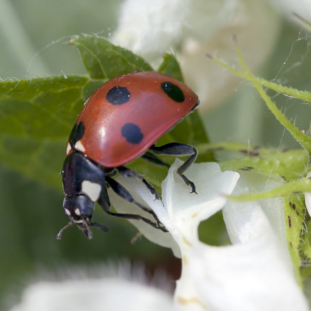 """""""A seven spotted ladybird on sweet nettle leaves"""" stock image"""