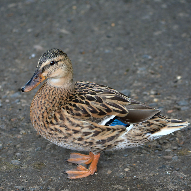 """A duck out of water"" stock image"
