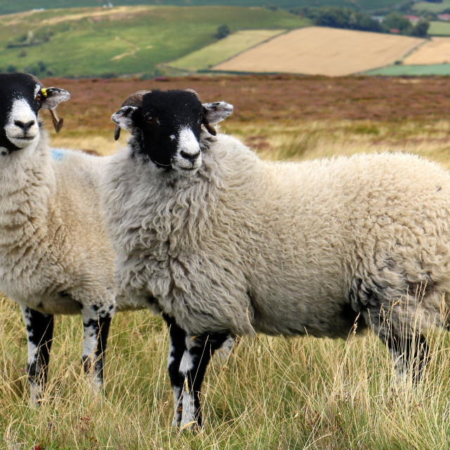 """""""Inquisitive sheep. North Yorks Moors."""" stock image"""