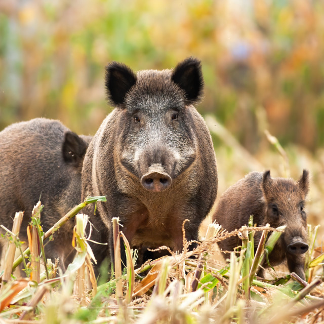 """Strong wild boar leading his family while looking for food"" stock image"