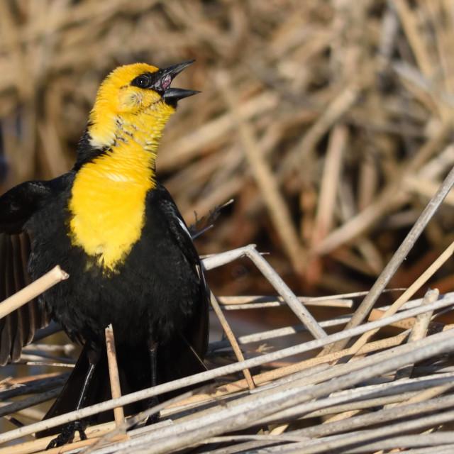 """Yellow Headed Blackbird"" stock image"