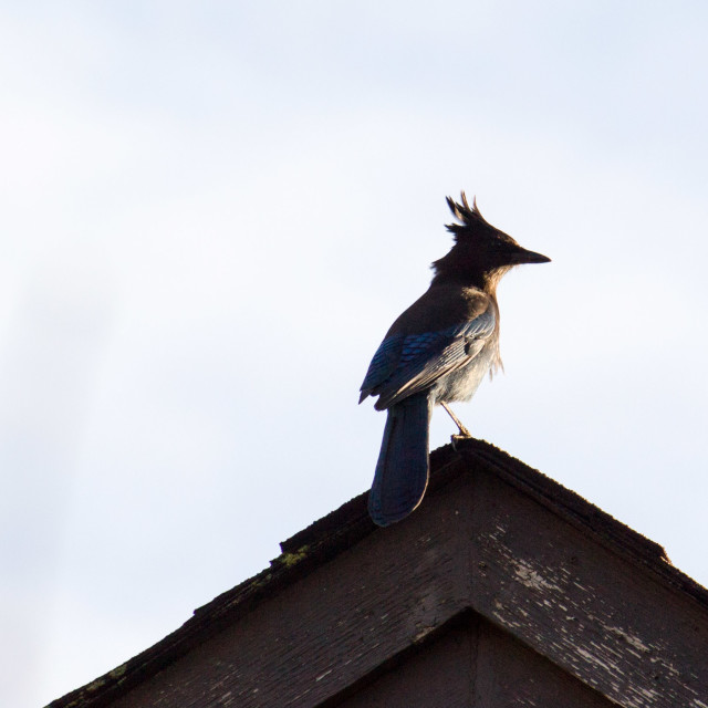 """stellar jay on rooftop in morning"" stock image"