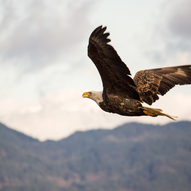 """bald eagle gliding across Harrison River"" stock image"