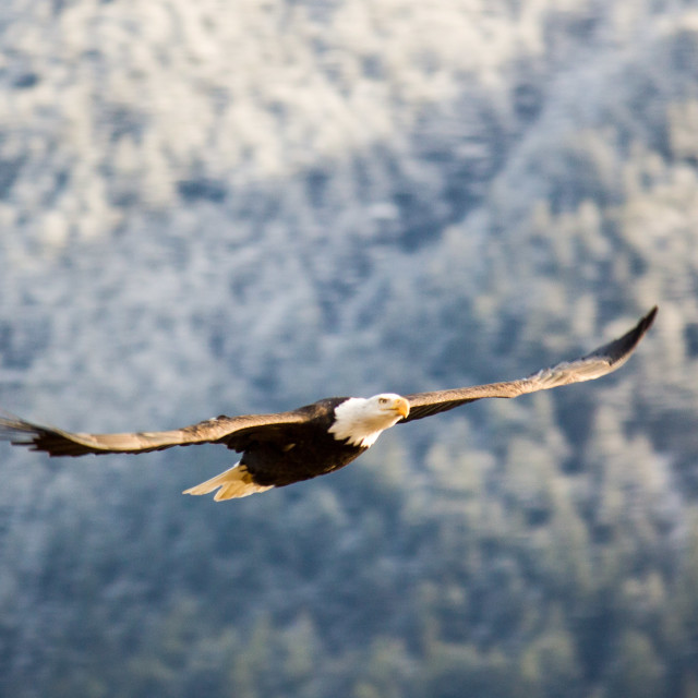 """bold eagle streaking across the forest"" stock image"